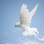 SINGLE-DOVE-IN-FLIGHT